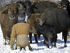 Wisconsin farmer milks water buffaloes, has balls the size of canteloupes.