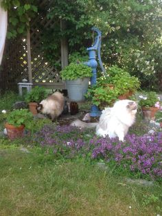 Our lovely Ragdolls. Jennysvitavillervalla.blogspot.se