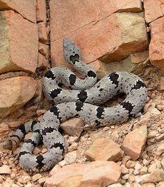Banded Rock Rattlesnake - (Crotalus lepidus klauberi)