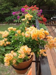 "Happy ""bougies"" (Bougainvilleas) on a balcony. Isn't this a great idea for bright color for a hot, sunny spot?"
