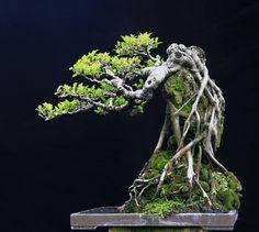 Bonsai Ficus, Bonsai Art, Bonsai Garden, Bonsai Trees, Bonsai Plants, Bonsai Tree Care, Bonsai Tree Types, Mini Bonsai, Snake Plant