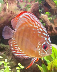 natural coloured discus cichlid