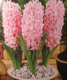 Hyacinth Plant, Hyacinth Flowers, Bulb Flowers, Garden Trees, Trees To Plant, Birthday Wishes Flowers, Vegetable Garden Planning, Pink Plant, Indoor Flowers