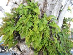 Resurrection Fern-Live Terrarium Plant - Miniature Garden - Home, Office, Gift - Living Vivarium  Plant -Pleopeltis polypodioides