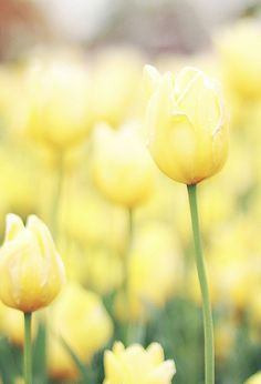 Enjoying the idea of spring with pictures of a favorite flower of mine-tulips :) Yellow Cottage, Yellow Tulips, Pastel Yellow, Lemon Yellow, Pink, Yellow Springs, Shades Of Yellow, Mellow Yellow, Spring Garden