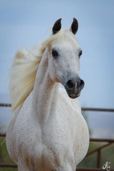 Vona Sher-Renea (El Sher-Mann × Renea) 1989 grey mare bred by Vona Huggins - this stunning mare is the dam of both WH Justice (the Champion Maker) and his full brother Kingsman SWF