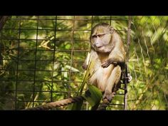 Rice freshmen design a puzzle feeder for primates at the Houston Zoo - YouTube