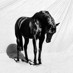 Majestic black horse