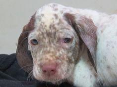 Du Clos De La Chevardière - C4EST POURQUOI ? Braque Du Bourbonnais, Dogs, Animals, Dog Breeds, Dog Baby, Animales, Animaux, Pet Dogs, Doggies
