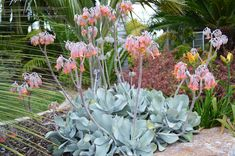 Cotyledon orbiculata Flowering