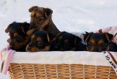 arista_aussie_puppies_Australian_Terrier_Puppies Australian Terrier Puppies, Norfolk Terrier Puppies, Aussie Puppies, Terrier Rescue, Animals, Animales, Animaux, Animal, Animais
