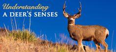 Understanding A Deer's Senses - Good Game Hunting