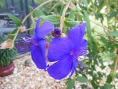 Tibouchina flower