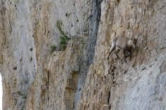 Mountain goat putting on a show of his climbing prowess