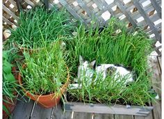 DIY Cat Grass Box- could put one on the porch