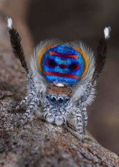 Peacock Spider Maratus Speciosus by Photographer Jurgen Otto Strange Beasts, Itsy Bitsy Spider, Jumping Spider, Beautiful Bugs, Very Scary, Bugs And Insects, Weird Creatures, Lombok, Amazing Spider