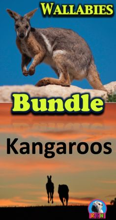 Kangaroos and Wallabies Bundle: Australian Animals - Non Fiction Resources:  These informative and dynamic PowerPoint presentations illustrate and explains their Appearance, Habitat, Diet and eating habits, Communication, Predators, and much more. by Ryan Nygren (photo by Adam Jenkins - https://www.flickr.com/photos/37796451@N00/3908698883 and Chris Samuels - https://www.flickr.com/photos/chrissamuel/5480789566
