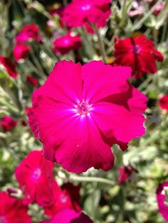 Rose Campion (Lychnis Coronaria)  - grown easily by seed, silver foliage adds visual interest