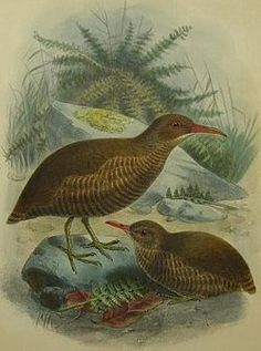 Chatham Rail Gallirallus modestus - Google Search
