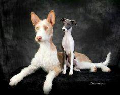 Podenco and Italian Greyhound - gorgeous photo!