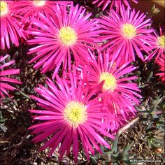 Just some Pink Ice flowers to brighten your day!