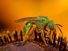 Le 10 punture di insetti più dolorose del mondo - GIZZETA #wasp #insect