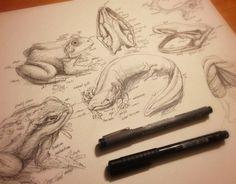 Amphibians - Studies by LuxDani