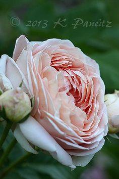 ~Rosa 'Abraham Darby'