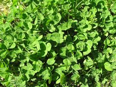 A Life Unprocessed: Identifying And Harvesting Edible Weeds In The Garden  Clover-nutritious and nitrogen-fixing plant.