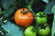 Grafting Plants, Paradis, Home And Garden, Stuffed Peppers, Fruit, Vegetables, Decorating Ideas, Gardening, Agriculture