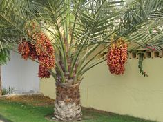 Gardens of ancient Egypt: Date palm with dates. These trees are depicted in tombs for an enjoyable afterlife.