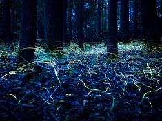 Picture of blue ghost fireflies hovering over a forest floor, North Carolina