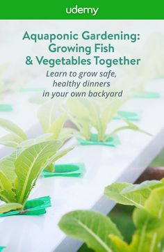 Grow safe, healthy fish and organic vegetables with no weeds right in your own backyard with aquaponics! This easy, step by step course will teach you everything you need to know to grow an entire dinner so you can start feeding your family safe, healthy food with no harmful pesticides or preservatives. Get started today!