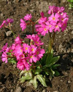 PRIMULA rosea 'Gigas' - Rosenprimula, farve: magenta, lysforhold: sol/halvskygge, højde: 15 cm, blomstring: april - maj, kræver meget fugtig jord.