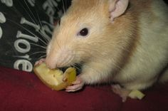 rat eat Les Rats, Cute Pictures, Eat, Dumbo Rat, Cute Photos
