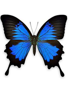 Blue Mountain Swallowtail | Butterflies And Moths Like You've Never Seen Them Before