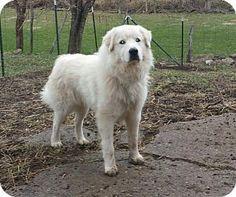1/16/17 Newport, KY - Great Pyrenees. Meet Ramsey, a dog for adoption. http://www.adoptapet.com/pet/17406594-newport-kentucky-great-pyrenees