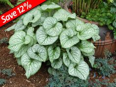 """Frosty Brunnera Jack Frost for 6+ months of interest in your shade garden (SPRING 15-18"""")"""