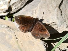 The Piedmont Ringlet (Erebia Meolans). S. Europe.