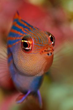 six line wrasse - would absolutely lovvvve to be able to study marine life up close