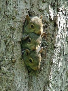 3 Baby Squirrels✖️No Pin Limits✖️More Pins Like This One At FOSTERGINGER @ Pinterest✖️