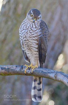 by IbKroghJohansen Bird Of Prey Tattoo, Winning Lottery Numbers, Sparrowhawk, Birds Of Prey, Raptors, Bird Watching, Bird Feathers, Beautiful Birds, Eagles