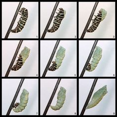 black swallowtail butterfly life cycle | Anise Swallowtail Caterpillar to Chrysalis