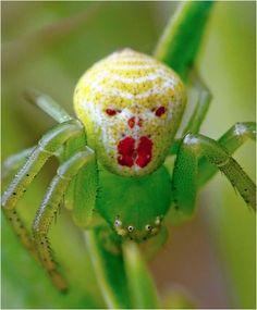 Araña payaso