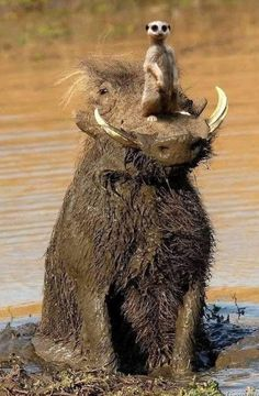 Timon and Pumbaa! Nature Animals, Animals And Pets, Baby Animals, Cute Funny Animals, Funny Cute, Funny Lion, Beautiful Creatures, Animals Beautiful, Funny Images