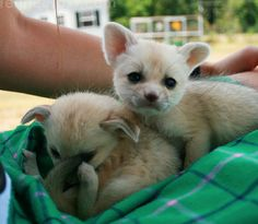 "want a fennec fox someday...   linked: ""the ultimate collection of baby fennec fox pictures"""