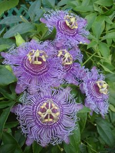 Passiflora Incense (Passion fruit)