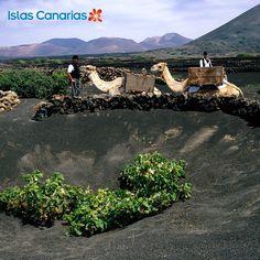 Vendimia en #LaGeria #LANZAROTE #Canarias