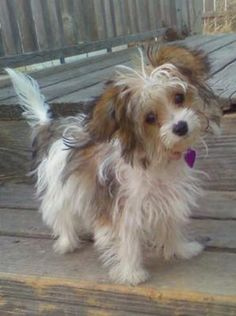 Evee the Papitese (Papillon Maltese) yep.... your mine!