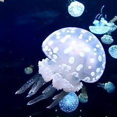 水玉模様がなんとも魅力的。タコクラゲ。